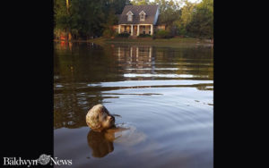 A small statue, which had sat in a flower garden outside the home of Burt and Tammy Ballard in Prairieville, La., shown in the background, still remains submerged by floodwaters even after they had receded several feet. (Photo courtesy of Burt Ballard)